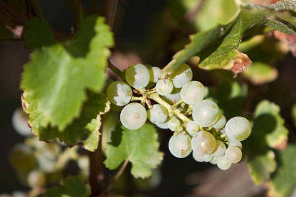 Arbanne grapes on vine