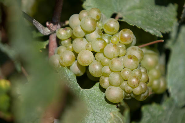 chardonnay grape on vine