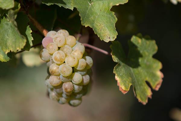 Petit Meslier grapes on vine