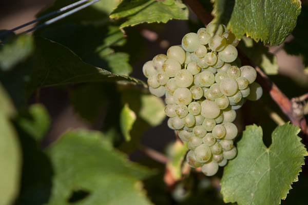Pinot Blanc grapes on vine